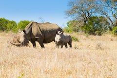 Rinoceronte branco com cachorrinho, África do Sul imagem de stock