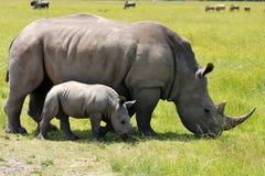 Rinoceronte branco com a vitela de 5 semanas fotos de stock