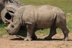 Rinoceronte branco do bebê Imagem de Stock Royalty Free