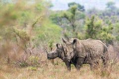 Rinoceronte branco do sul no parque nacional de Kruger, África do Sul Fotografia de Stock