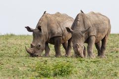 Rinoceronte branco em África do Sul fotografia de stock