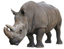 Rinoceronte branco isolado sobre o branco Fotos de Stock