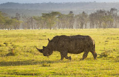 Rinoceronte branco no parque nacional de Nakuru do lago Imagens de Stock