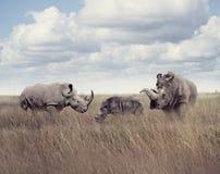 Rinoceronte branco ou rinoceronte quadrado-labiado Fotografia de Stock