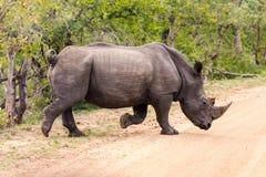 Rinoceronte branco que cruza a estrada Fotografia de Stock