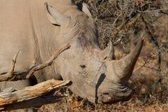 Rinoceronte branco, reserva do jogo de Madikwe Foto de Stock