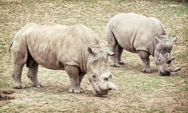 Rinoceronte branco (simum) do simum do Ceratotherium, dois animais Foto de Stock