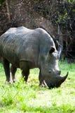 Rinoceronte branco, Uganda Imagens de Stock