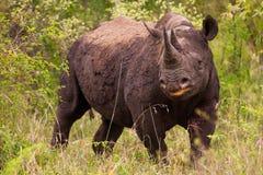 Rinoceronte in Bush nel Sudafrica fotografia stock libera da diritti
