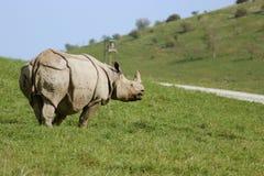 Rinoceronte che attraversa la via Immagini Stock Libere da Diritti