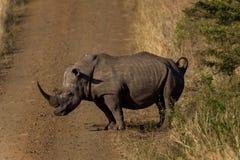 Rinoceronte che attraversa strada non asfaltata Immagini Stock Libere da Diritti