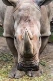 Rinoceronte che fissa voi nell'occhio immagine stock libera da diritti