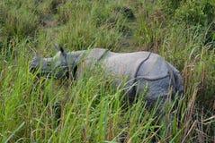 Rinoceronte che guarda fisso, parco nazionale di Kaziranga Fotografia Stock