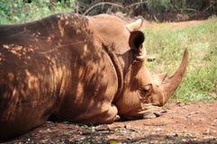 Rinoceronte che ha un sunbath in Africa Kenya Fotografia Stock