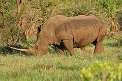 Rinoceronte che pasce Immagine Stock