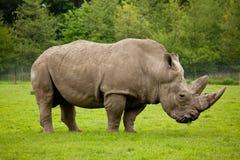Rinoceronte che pasce Fotografie Stock