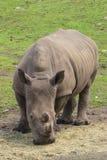 Rinoceronte che pasce Immagini Stock Libere da Diritti