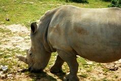 Rinoceronte che pasce Immagini Stock