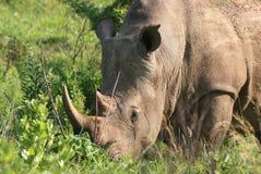 Rinoceronte che pasce Fotografia Stock Libera da Diritti
