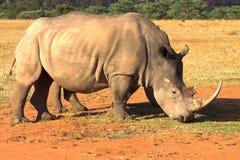 Rinoceronte che pasce nel campo asciutto. Fotografia Stock