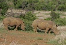 Rinoceronte che pasce nel Sudafrica fotografia stock libera da diritti