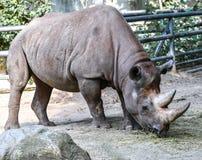Rinoceronte che pasce in un campo aperto in Sudafrica fotografia stock