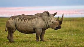Rinoceronte che si leva in piedi vicino al lago Fotografia Stock Libera da Diritti