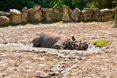Rinoceronte che si trova nel fango immagine stock