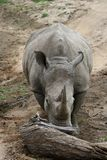 Rinoceronte che spinge un albero nella savanna Fotografia Stock