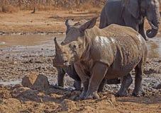 Rinoceronte che sta alto Immagini Stock Libere da Diritti