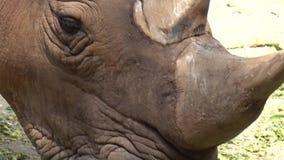 Rinoceronte, cierre del rinoceronte para arriba almacen de video