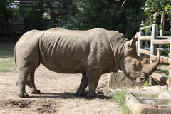 Rinoceronte cinzento na gaiola ao ar livre Fotos de Stock Royalty Free