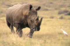 Rinoceronte cobrando Foto de Stock Royalty Free