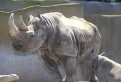Rinoceronte com bebê, San Diego Zoo, CA Foto de Stock