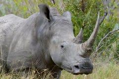 Rinoceronte con el retrato grande del cloe-up del cuerno dos Foto de archivo