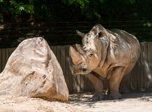 Rinoceronte con una roca Fotografía de archivo libre de regalías