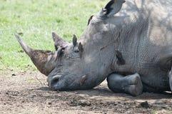 Rinoceronte dañado que se reclina en cortina con oxpeckers. Imagen de archivo