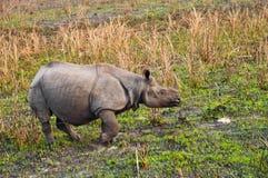 Rinoceronte Uno-de cuernos indio Fotos de archivo