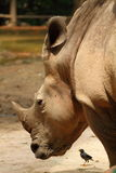 Rinoceronte de Java Imagen de archivo
