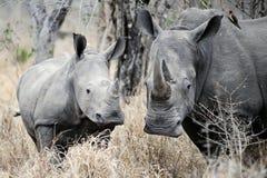 Rinoceronte de la madre y del bebé Imagen de archivo libre de regalías