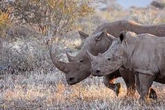 Rinoceronte de la mamá y del bebé Imagen de archivo libre de regalías