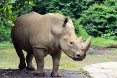 Rinoceronte de los Rhinos Foto de archivo libre de regalías