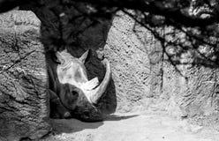 Rinoceronte de reclinación Fotos de archivo