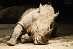 Rinoceronte de reclinación Foto de archivo libre de regalías