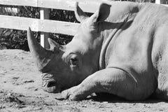 Rinoceronte de reclinación Imágenes de archivo libres de regalías