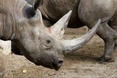 Rinoceronte del ataque del rinoceronte Imagen de archivo libre de regalías