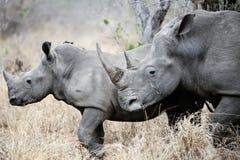 Rinoceronte del bambino e della madre Fotografia Stock Libera da Diritti
