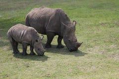 Rinoceronte del bambino e della madre Immagine Stock Libera da Diritti