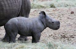 Rinoceronte del bambino nella savanna Fotografia Stock Libera da Diritti