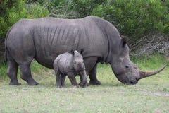 Rinoceronte del bebé con adulto Fotografía de archivo